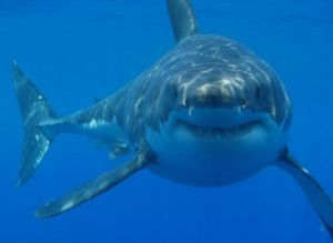 Watch-Scary-close-call-with-a-great-white-shark-sydney-harbor-june-2014
